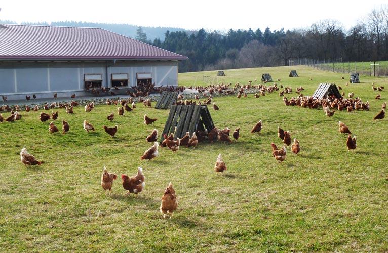 Hühner im Außengehege mit ihren Freilandhütten.