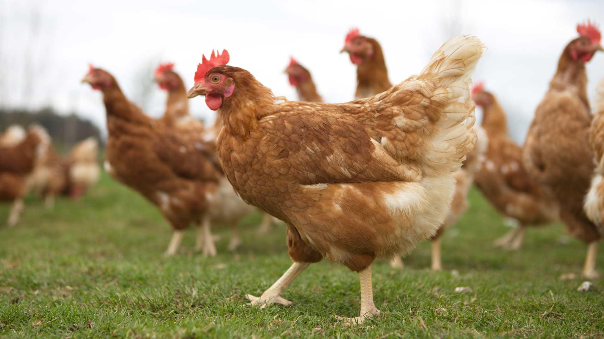 Auf dem Außengehege haben die Hühner viel Platz
